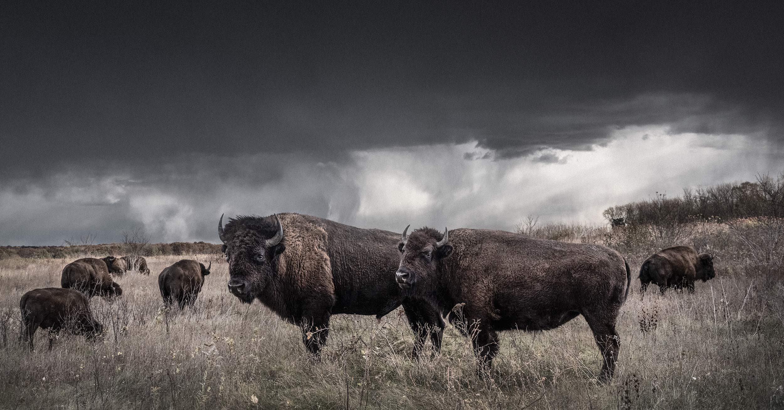 Buffalo-Bull-and-Cow_1