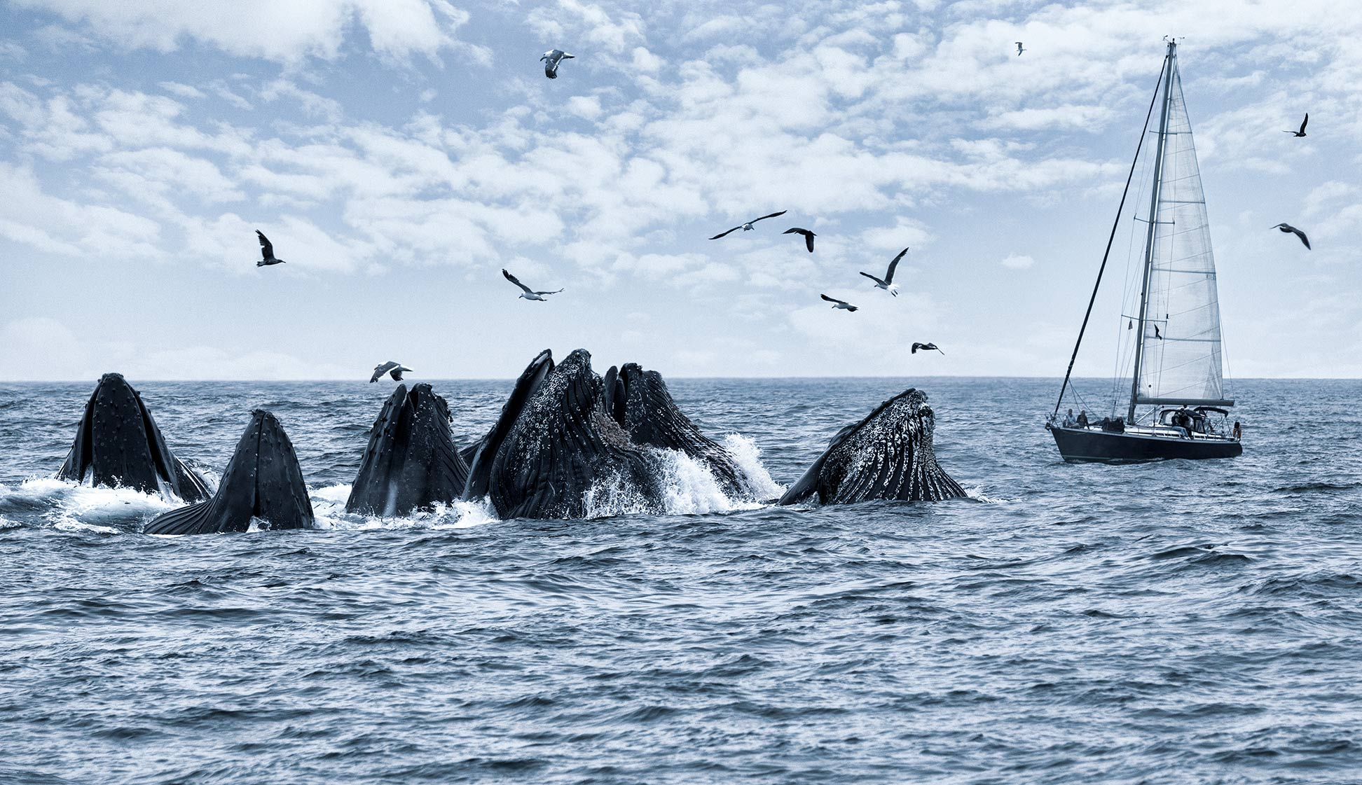 Humpback-whales-feeding-in-front-of-a-sailboat_Monterey-Bay_CA_