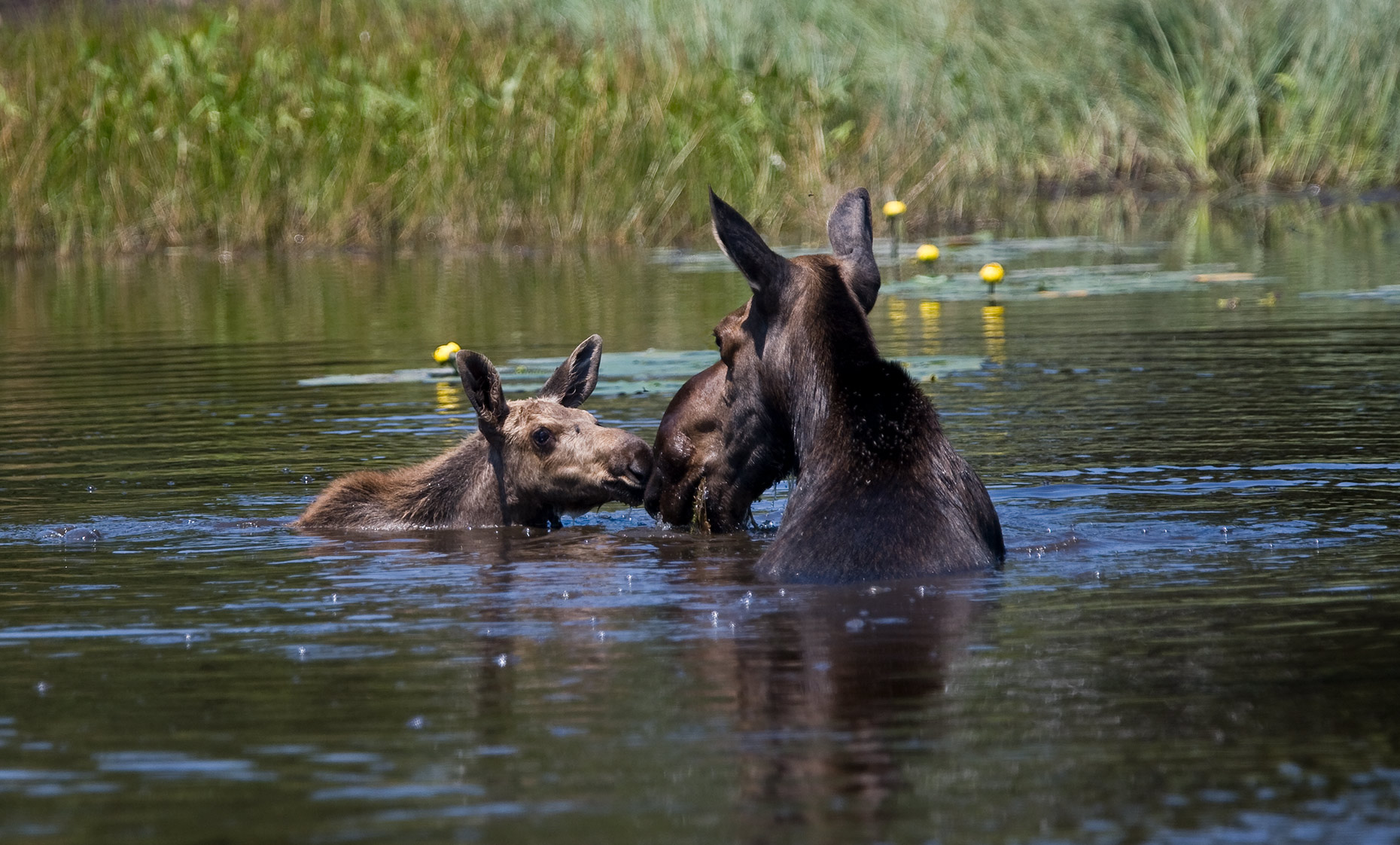 ISLE_ROYALE_moose-mom-and-baby