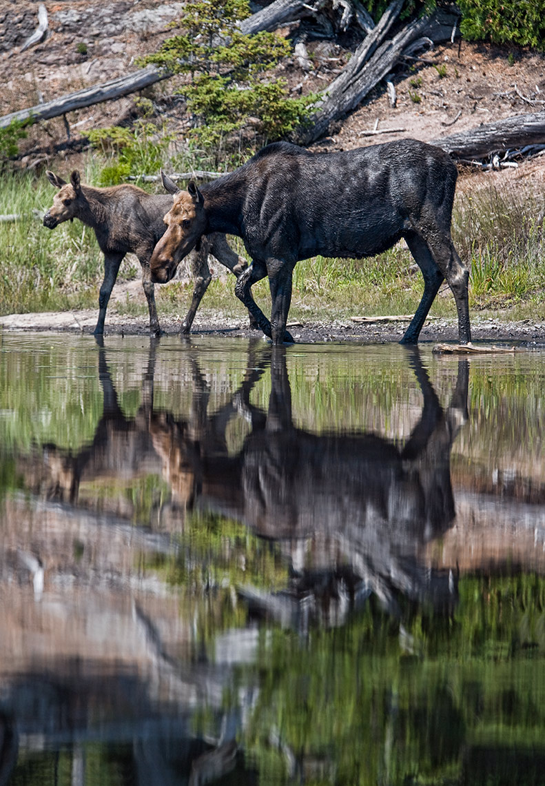 ISLE_ROYALE_moose