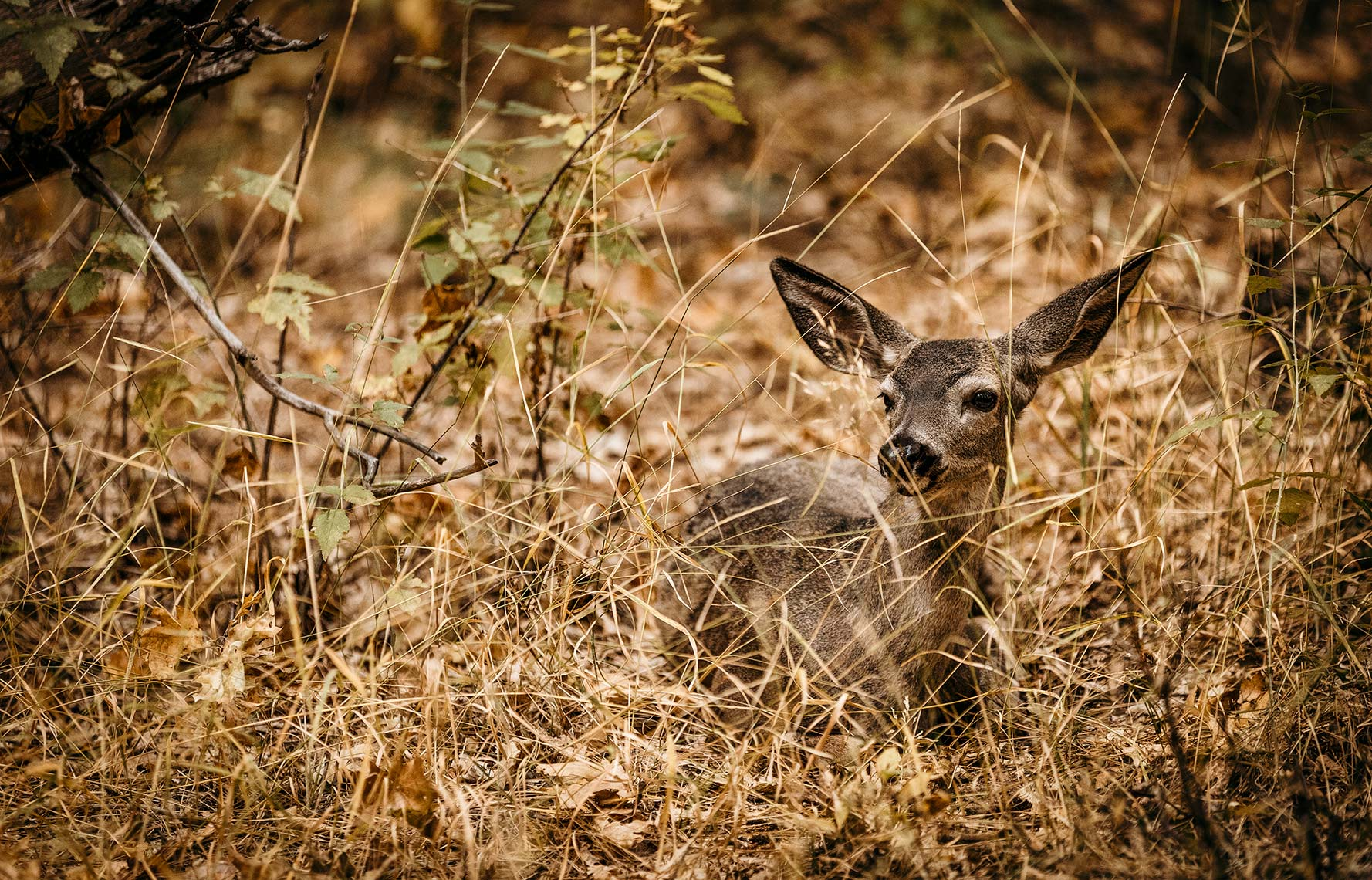 MULEDEER-IN-GRASS_YOSEMITE