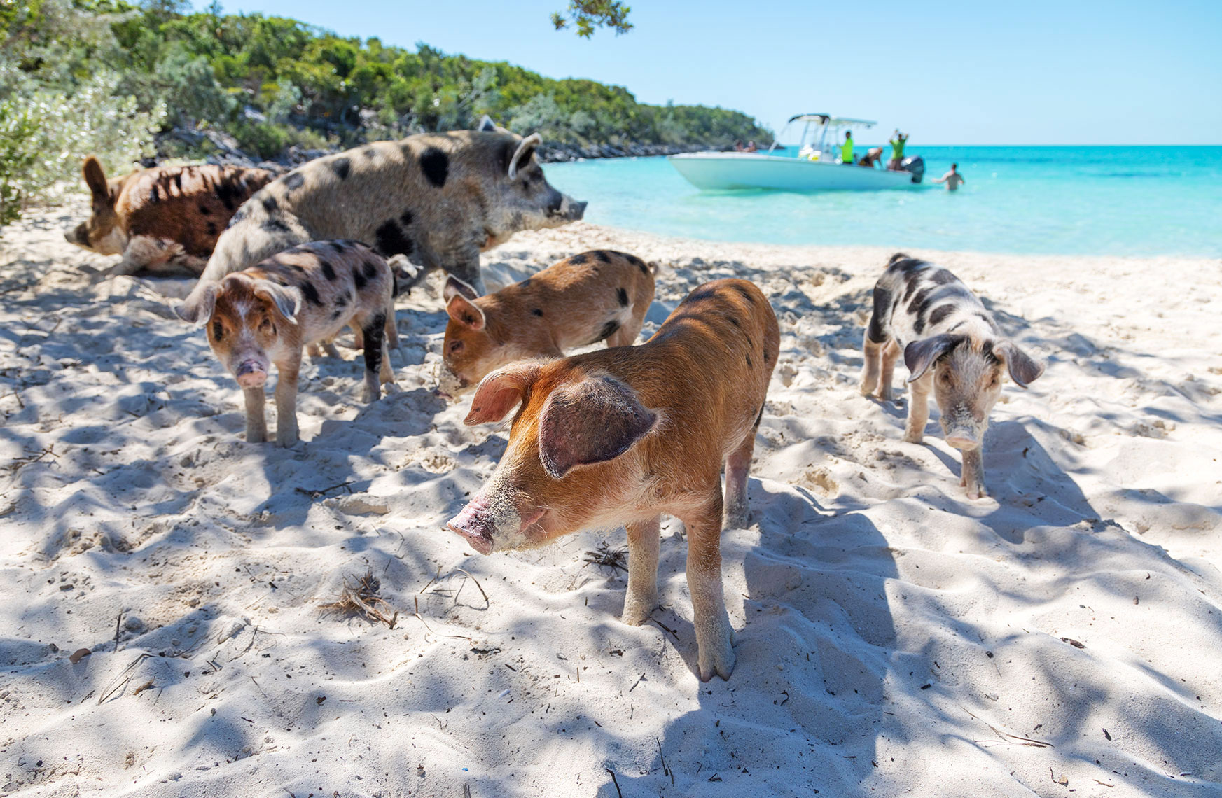 PIGS-ON-A-BEACH