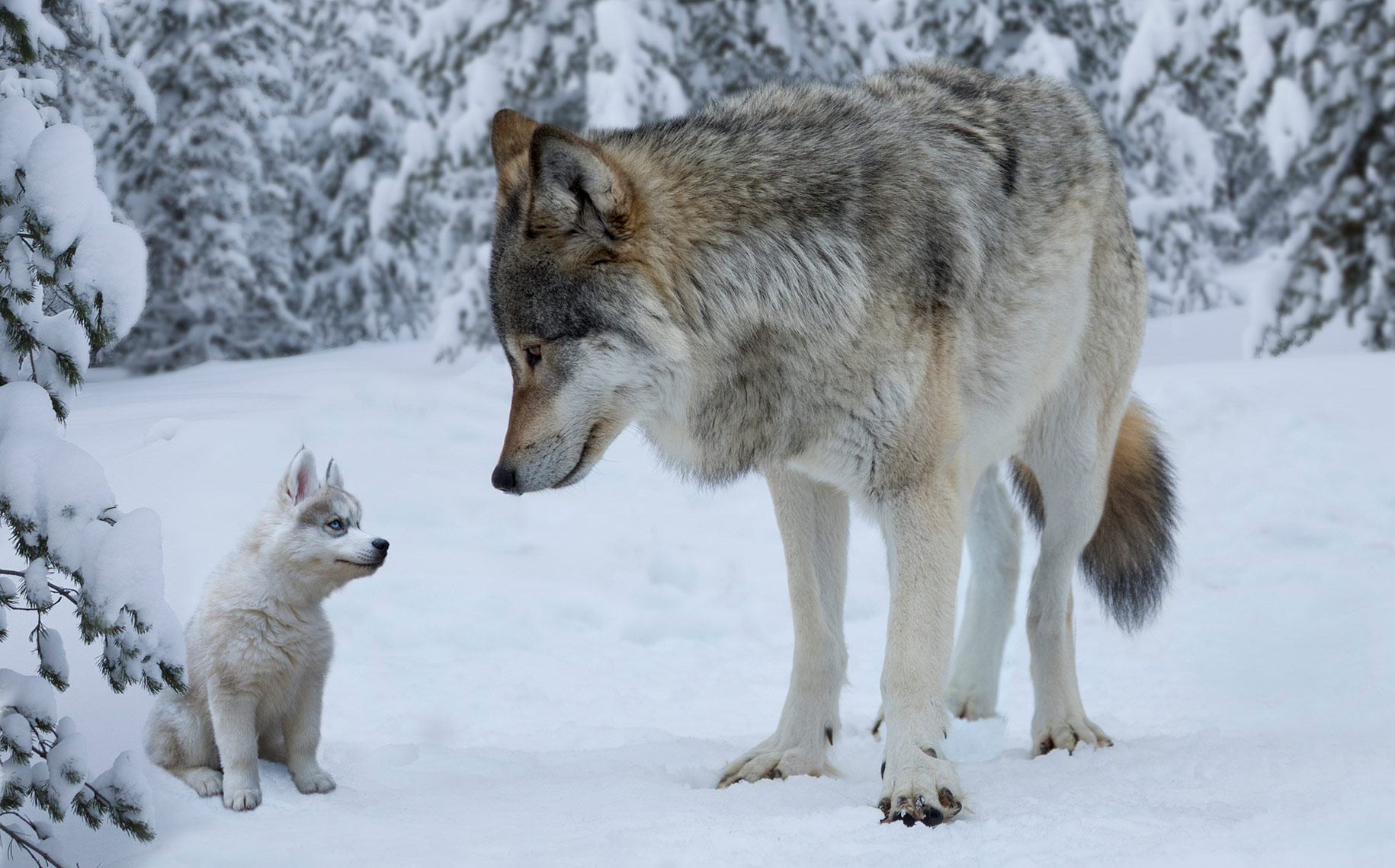 PUPPY-AND-WOLF_THE-BRAVE-LITTLE-PUPPY