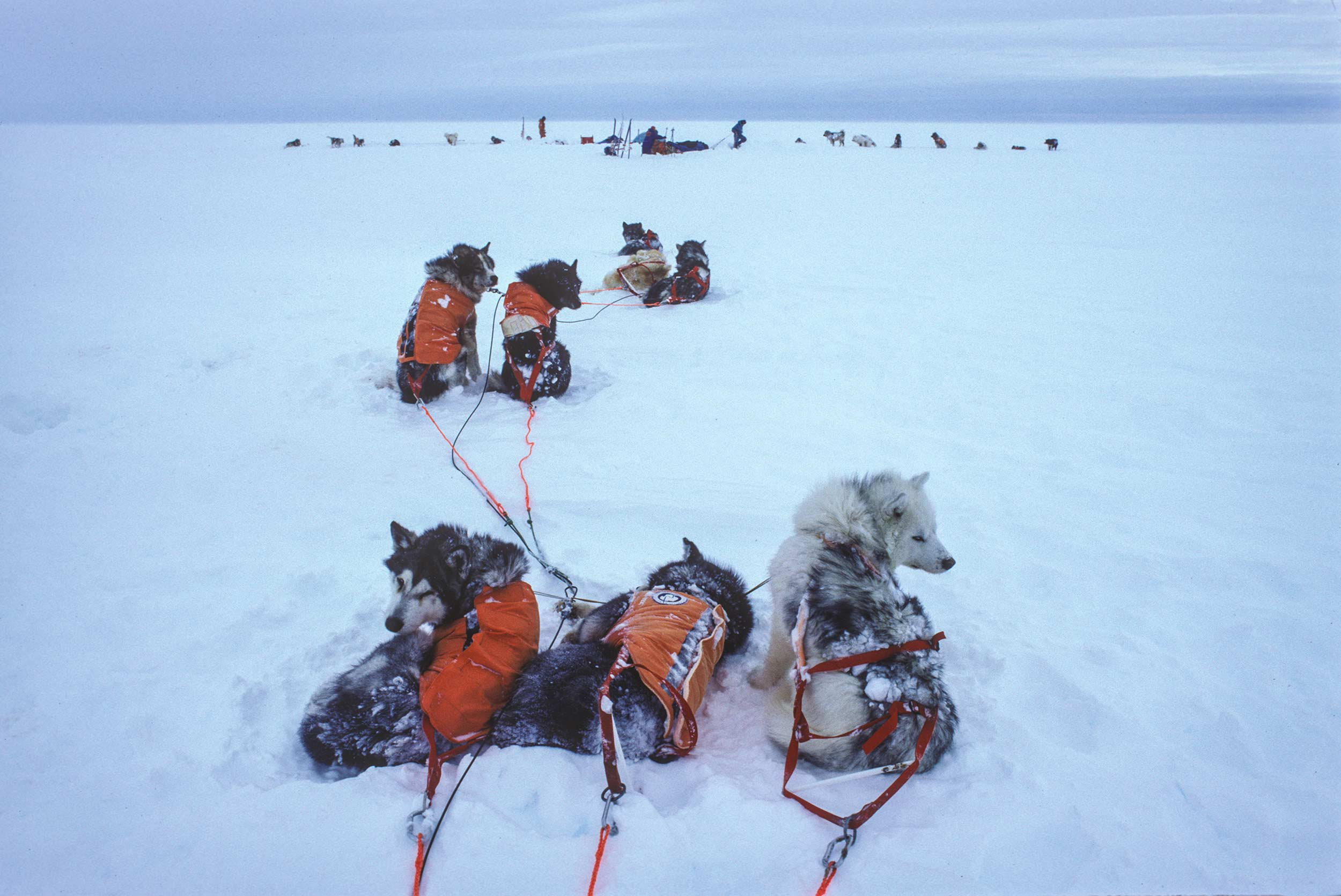 Trans-Antarctica-Expedition--sled-dogs-getting-ready-to-pull