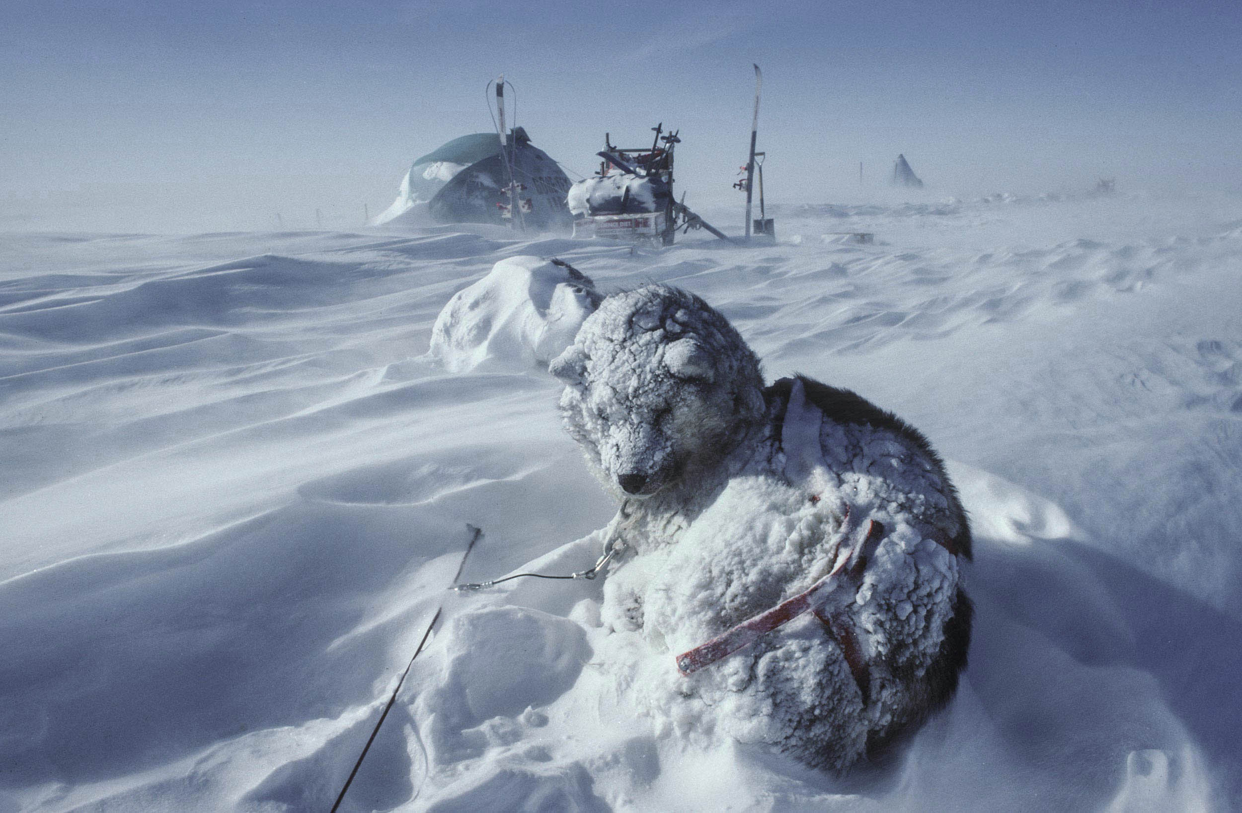 Trans-Antarctica-Expedition-dogs-waking-up