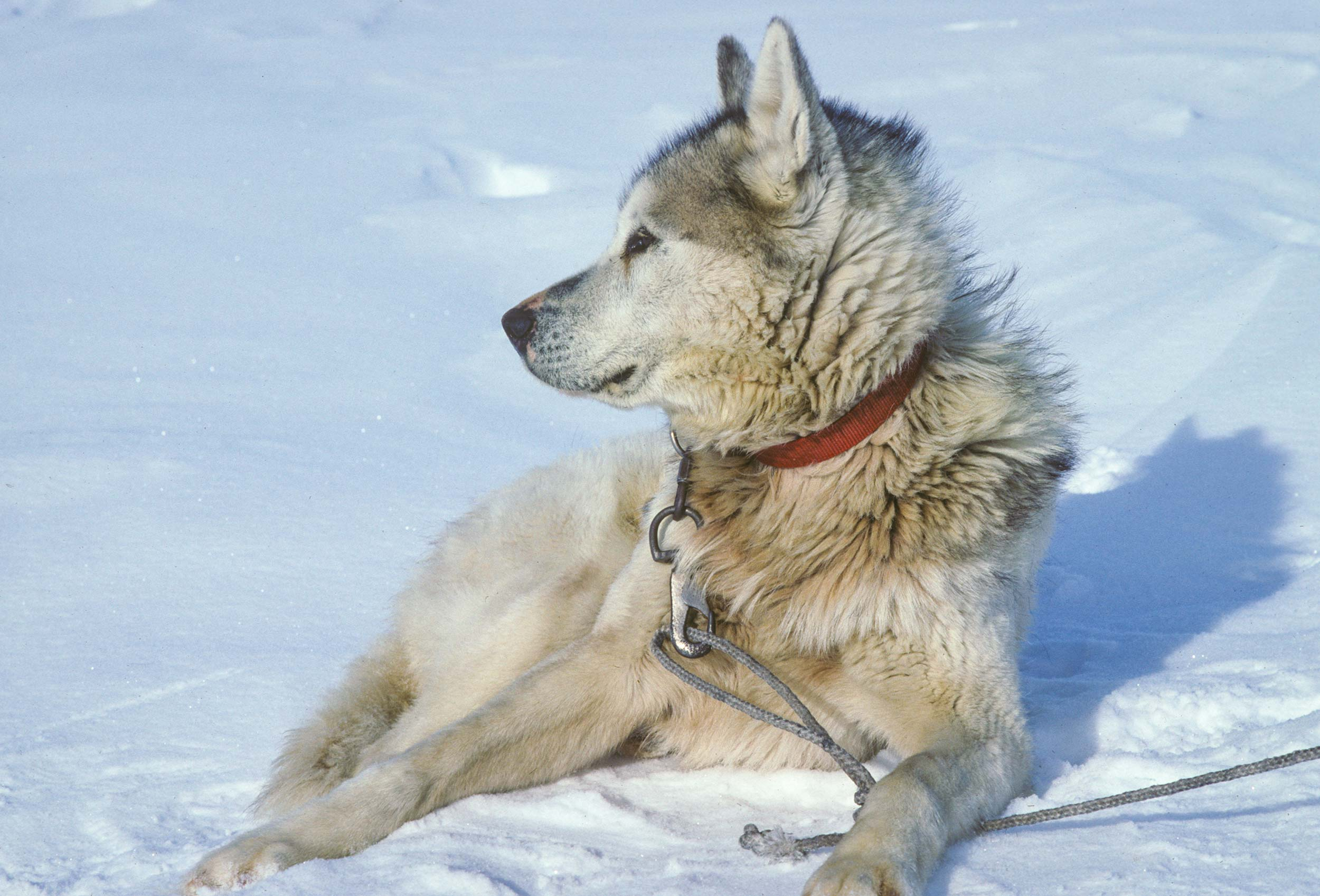 Trans-Antarctica-Expedition-sled-dog-resting-in-the-sun