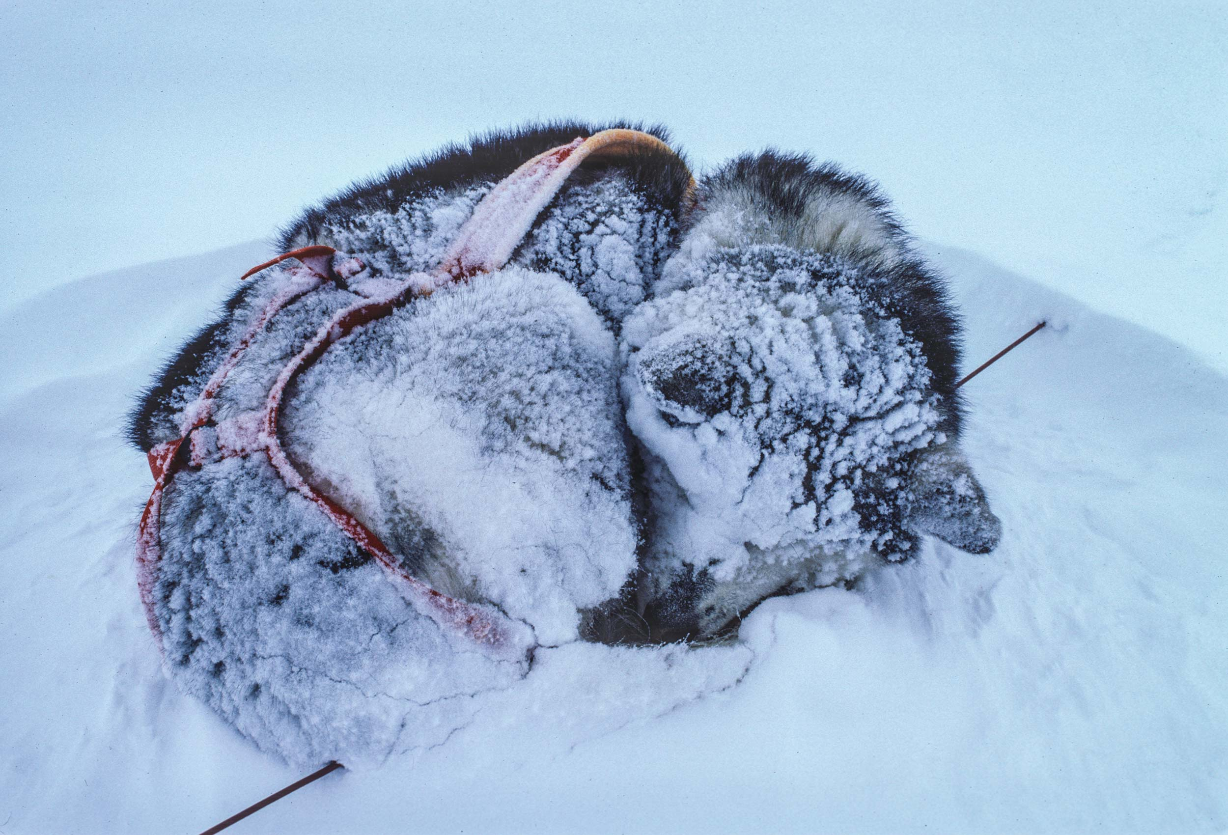 Trans-Antarctica-Expedition-sleeping-sled-dog