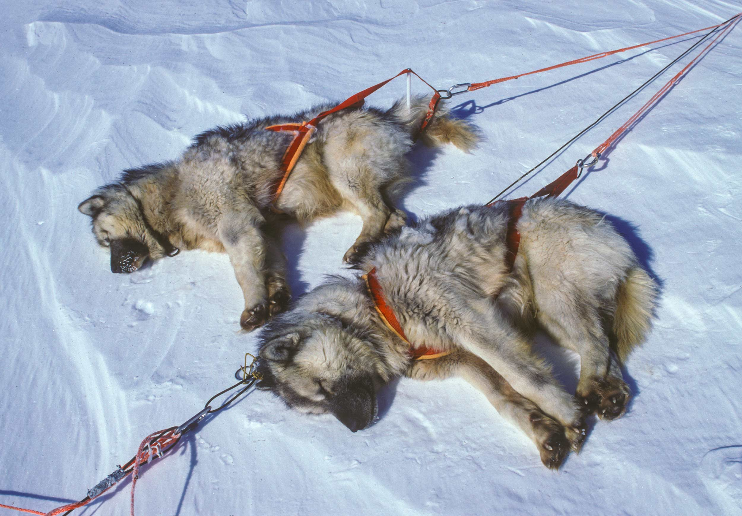 Trans-AntarcticaExpedition-resting-sled-dogs