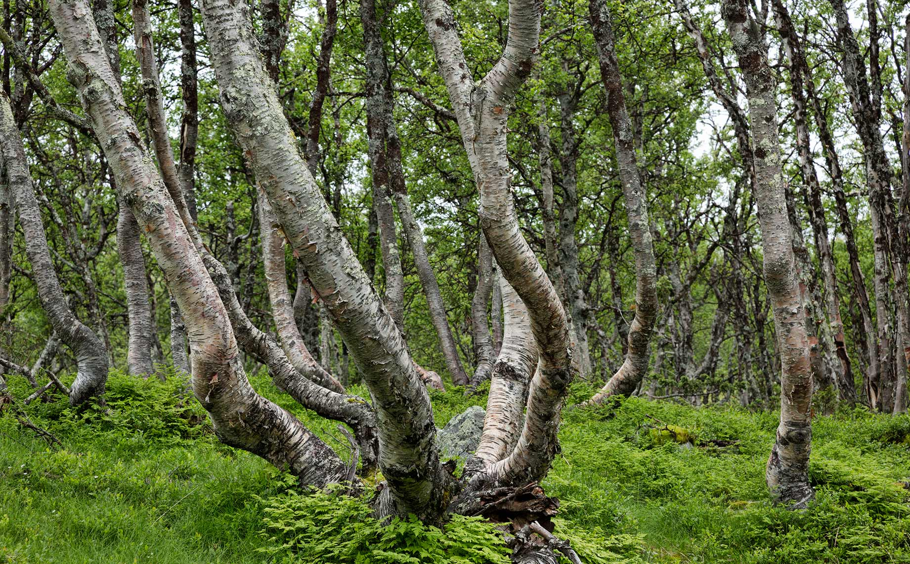 mountain-birch